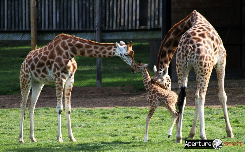 Giraffe-Caring Parents