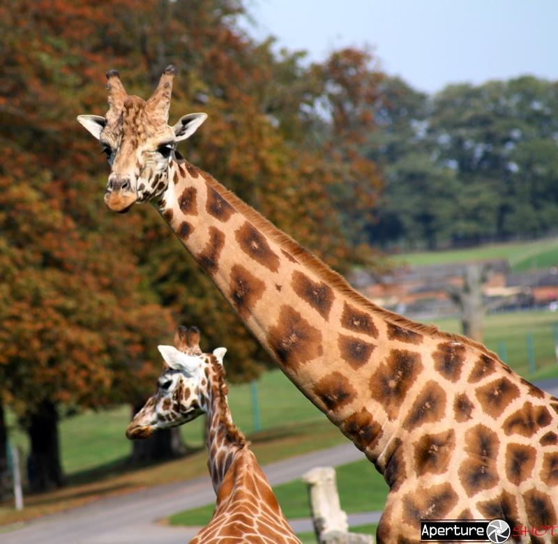 Giraffe-Extreme Close up